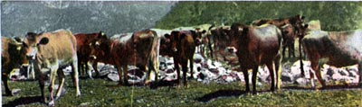 Cattle Range, Near City